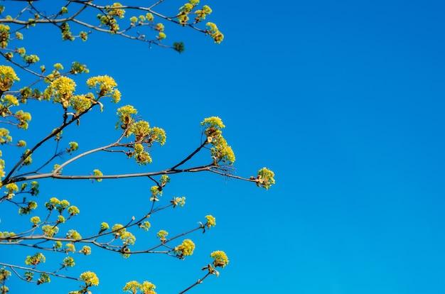 Bloeiende toppen van een boomesdoorn, bloeiende esdoorn in het voorjaar aan een heldere hemel.