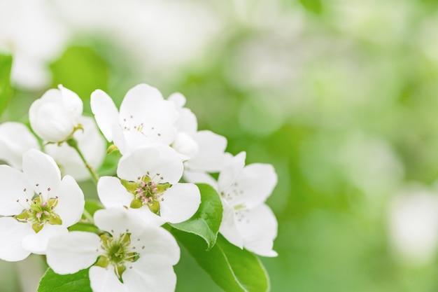 Bloeiende tuinappelboom. witte bloemen op boomtakken. bomen bloeien in het voorjaar. natuurlijke selectieve focus.