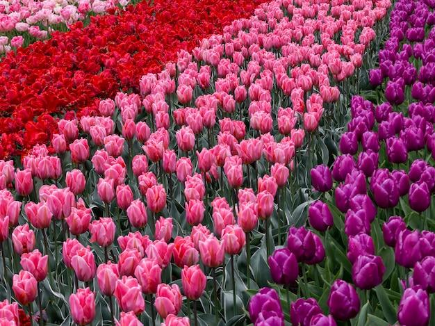 Bloeiende tulpen in keukenhof, 's werelds grootste bloementuinpark