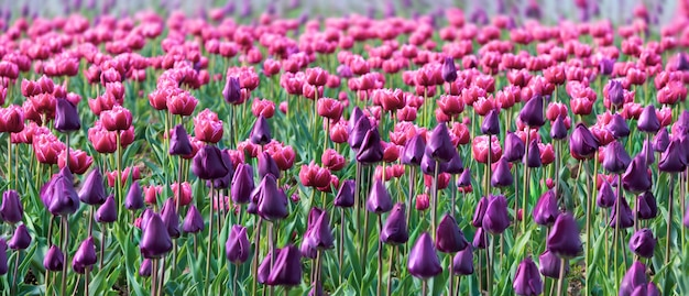 Bloeiende tulpen lente
