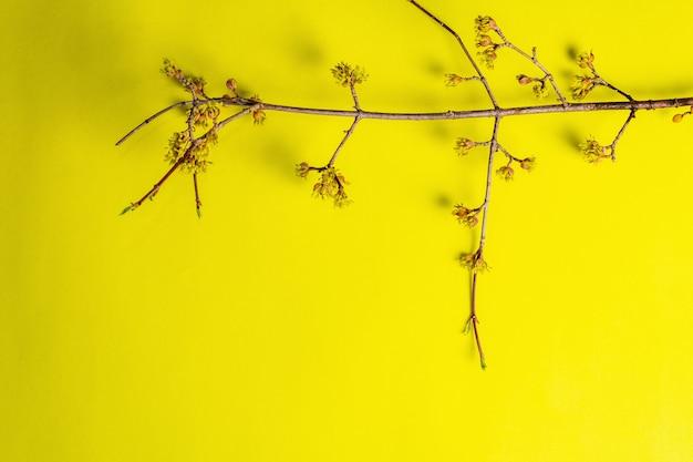 Bloeiende twijgen van kornoelje op een gele zonnig