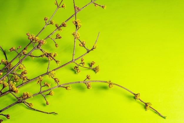 Bloeiende twijgen van kornoelje op een groene zonnige.