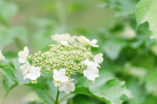 Bloeiende viburnumboom met witte bloemen. bloeiende tuinen in de lente. natuurlijke omgeving achtergrond.