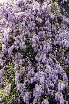Bloeiende violet blauweregen boom in lentetuin