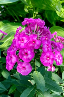 Bloeiende violette tuinbloemen phlox, phlox paniculata, geslacht van bloeiende kruidachtige planten.