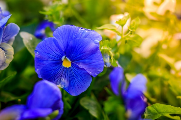 Bloeiende viooltjes. mooie bloeiende zomerbloem