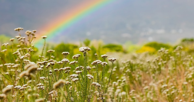 Bloeiende wilde bloemen in een veld met een regenboog erachter in kaapstad, zuid-afrika