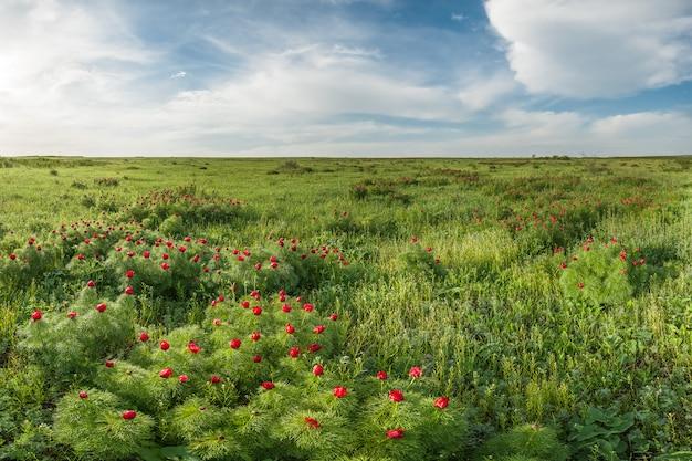 Bloeiende wilde pioenrozen in de lentelandschap van de steppe met bloemen