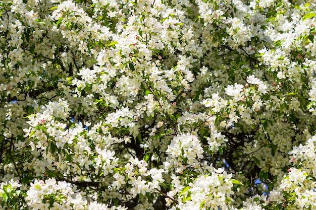 Bloeiende witte appelboom. blauwe lucht.