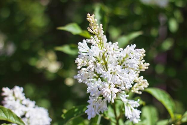 Bloeiende witte bloemen close-up tussen groene bladeren achtergrond