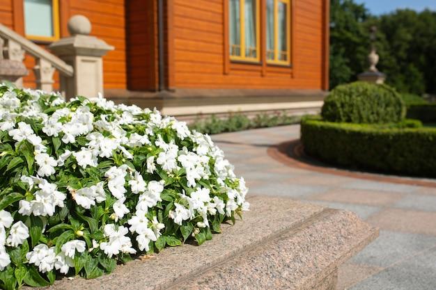 Bloeiende witte bloemen in een pot in de buurt van het moderne houten huis. ruimte voor tekst