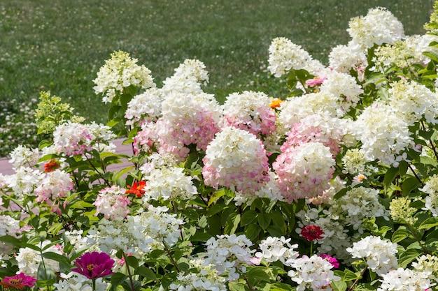 Bloeiende witte hortensia's en rode zinnia's tussen het groene gras.