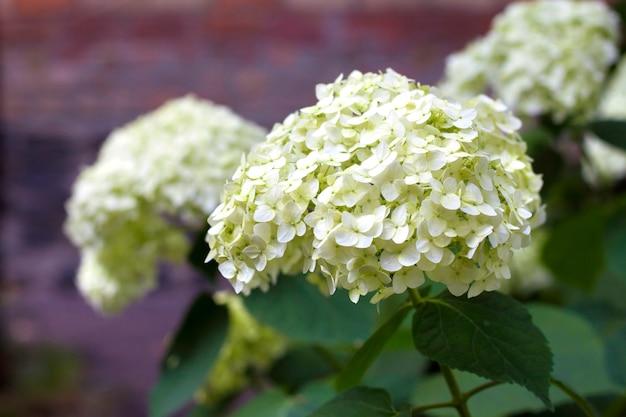 Bloeiende witte hortensia
