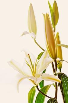 Bloeiende witte lelieclose-up op wit