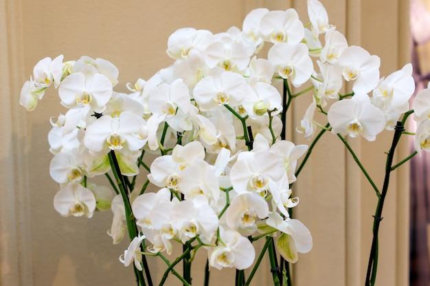 Bloeiende witte orchidee binnenshuis. binnenlands tuinieren. ingemaakte bloemen.