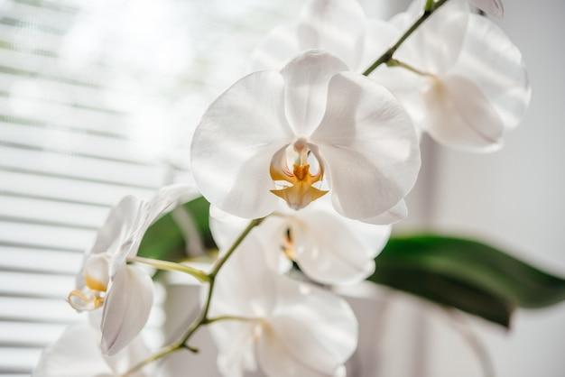 Bloeiende witte orchidee-huisplant in het badkamerraam met luiken, phalaenopsis of mottenorchidee onder diffuus natuurlijk licht van luiken, gemakkelijke orchideeën om te kweken als kamerplanten
