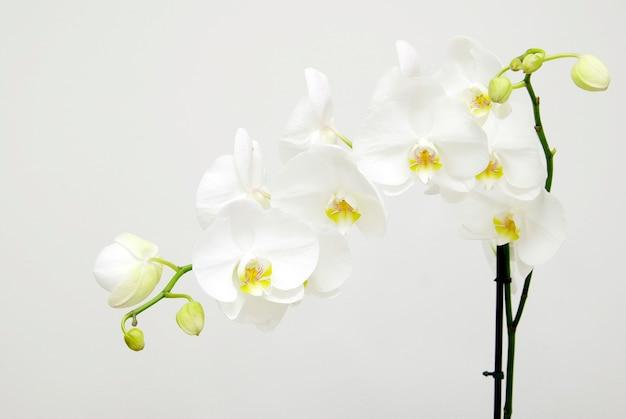 Bloeiende witte orchideeën bloem geïsoleerd op een witte achtergrond