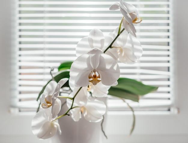 Bloeiende witte phalaenopsis of mottenorchidee op de vensterbank in de badkamer, witte orchideebloemen onder jaloezieën diffuus natuurlijk licht, gemakkelijke orchideeën om als huisplant te kweken