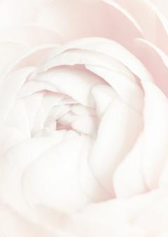 Bloeiende witte ranonkelbloem