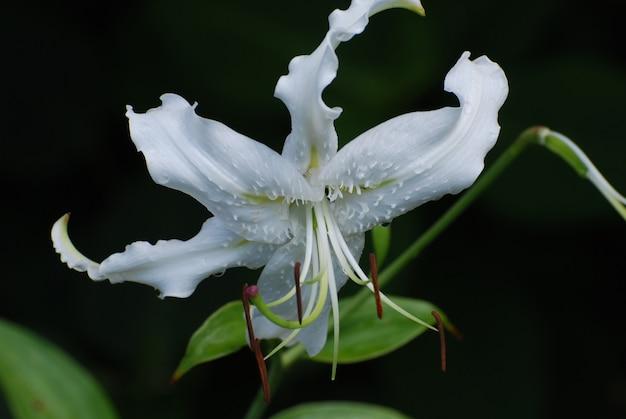 Bloeiende witte stargazer lelie bloem bloeien in een tuin