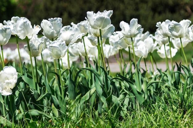 Bloeiende witte tulpen. zonnige dag.