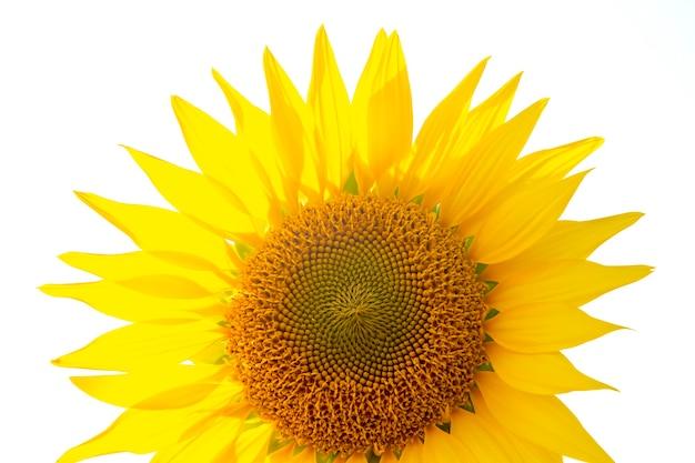 Bloeiende zonnebloem close-up op een wit