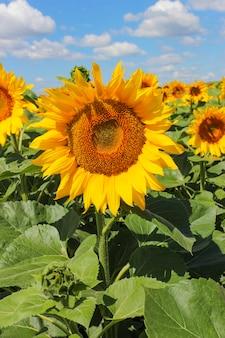 Bloeiende zonnebloem close-up op het veld bij zonnig weer