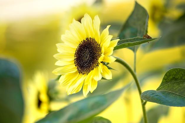 Bloeiende zonnebloem in het veld op wazig zonnig oppervlak