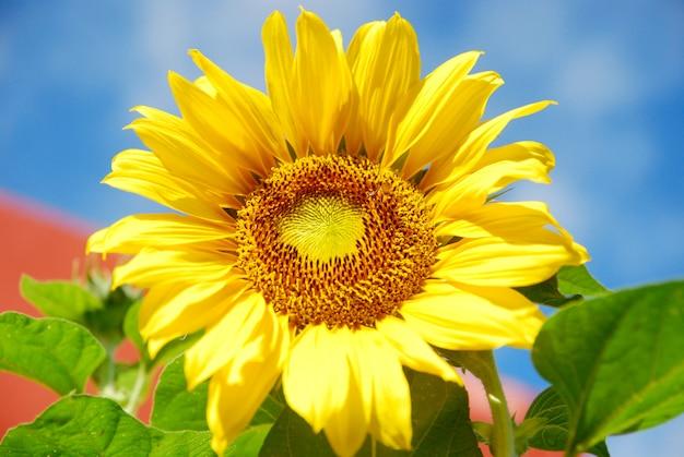 Bloeiende zonnebloem op blauwe hemelachtergrond