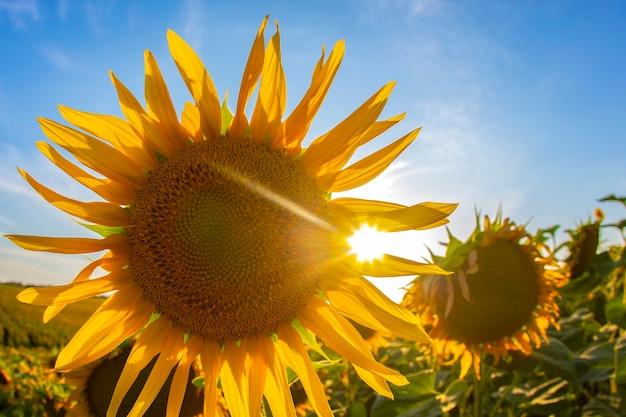 Bloeiende zonnebloemen in zonlicht