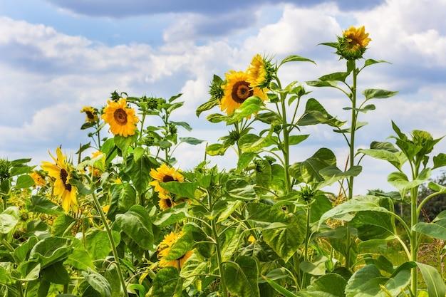 Bloeiende zonnebloemen op zonnige dag. blauwe lucht en witte wolken.