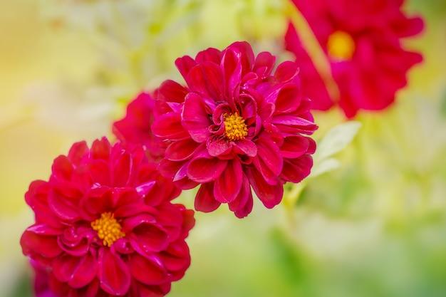 Bloeit chrysant in de herfst. paarse drie bloemen met zachte focus.