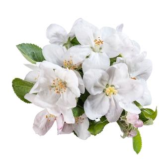 Bloeiwijze appels bloeien met groene bladeren geïsoleerd op een witte achtergrond