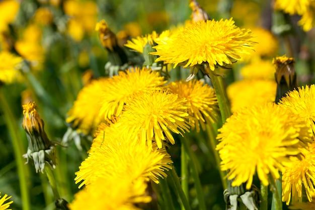 Bloeiwijze van gele verse paardebloemen in het veld