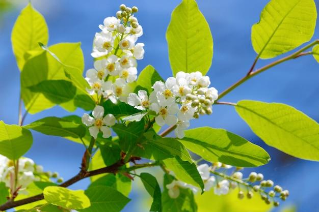 Bloeiwijze van tot bloei komende witte vogelkersclose-up tegen blauwe hemel