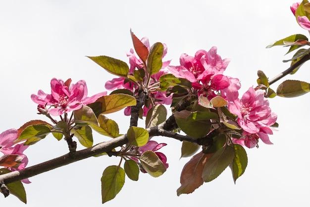 Bloem aan de boom, bloeiende boom Premium Foto