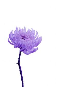 Bloem delicate plant roze paars proton verse chrysant close-up ansichtkaart geïsoleerde achtergrond golden-daisy veel rozen boeket