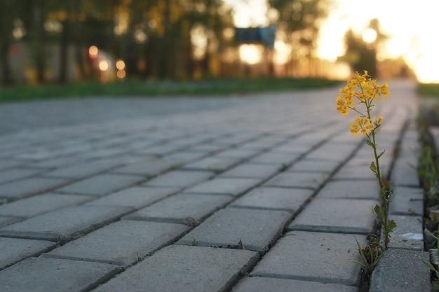 Bloem groeit door de grijze straatsteen bij zonsondergang
