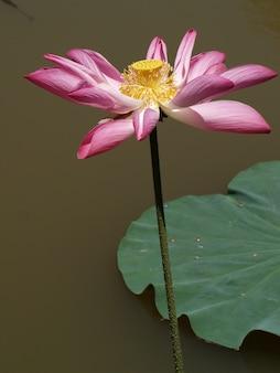 Bloem met roze bloemblaadjes en geel gynoecium