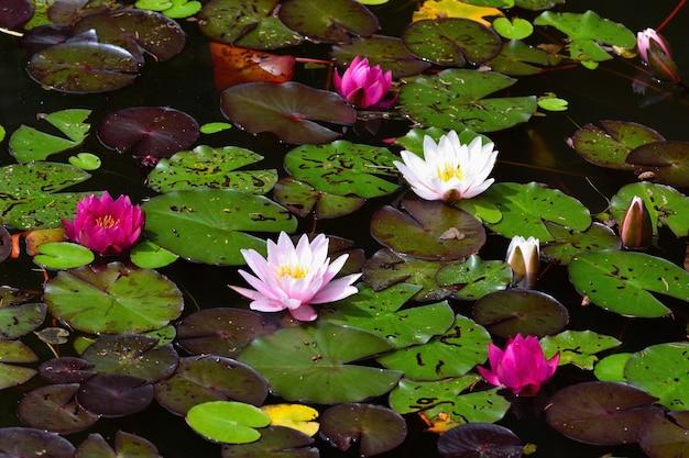Bloem. mooie bloeiende waterlelie op het wateroppervlak. natuurlijke kleurrijke vervaagde achtergrond. (nymphaea)