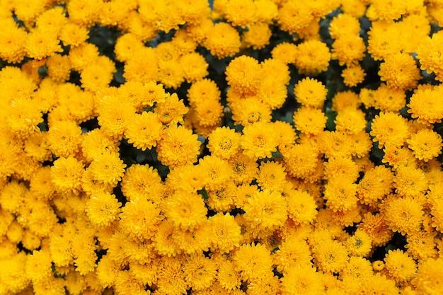 Bloem patroon. natuurlijke achtergrond van bloeiende mooie gele chrysanten.