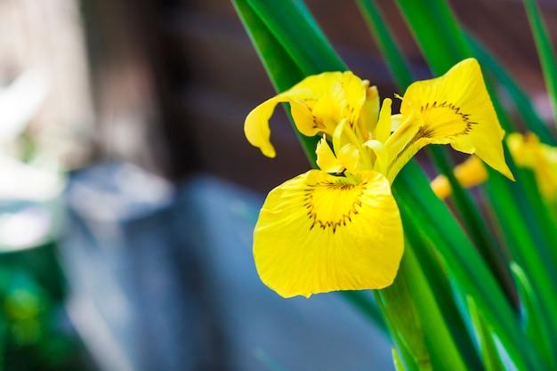 Bloem van close-up geel lis (iris pseudacorus)