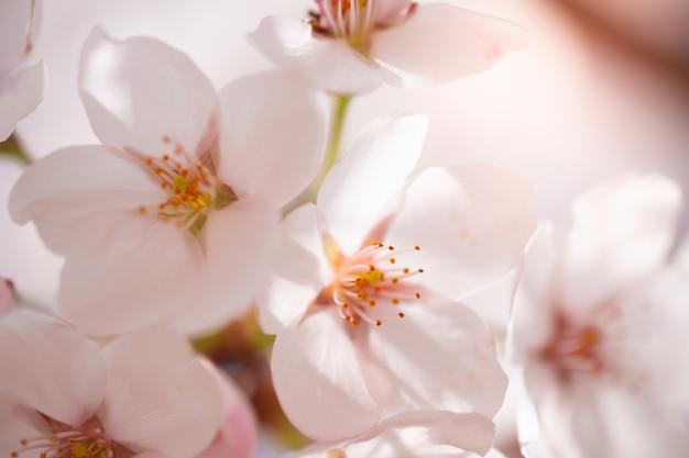 Bloem van de close-up de mooie kers of sakura-bloem op aardachtergrond. beeld.