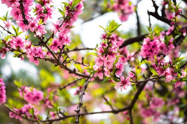 Bloem van de close-up de mooie kers of sakura-bloem op aardachtergrond.