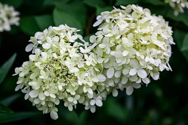 Bloem van de close-up de mooie verse witte hydrangea hortensia