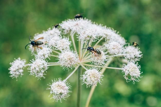 Bloem van de medicinale plant angelica archangelica met bijen