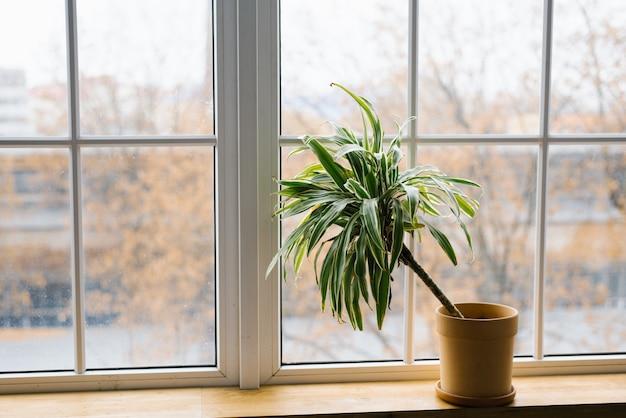 Bloem van dracaena in een bloempot op een raam in een kamer thuis