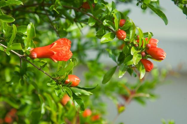Bloem van een biologische granaatappel op tak eierstok van granaatappelfruit met bloemen idee van