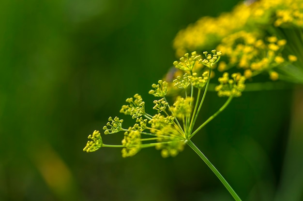 Bloem van groene dille (anethum graveolens) groeit op landbouwgebied.