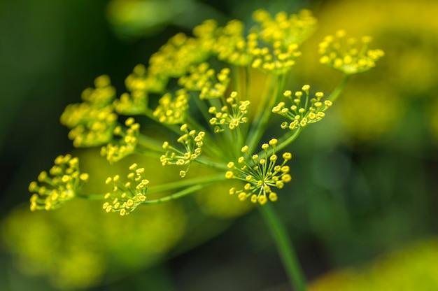 Bloem van groene dille groeit op landbouwgebied